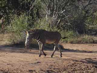 Click here for a Grevy's Zebra video.