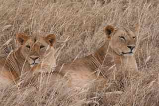 These young lion brothers are looking for prey
